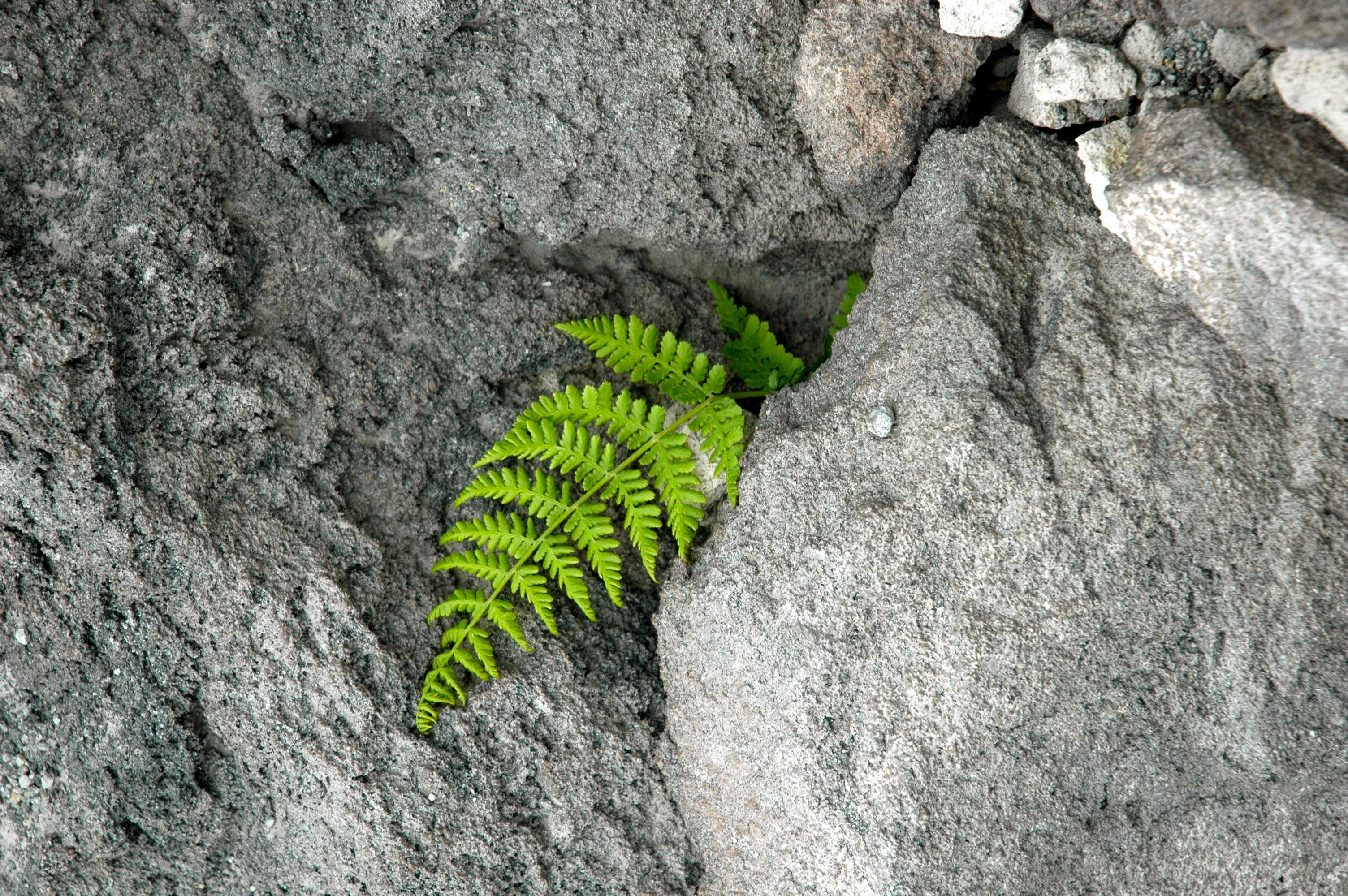 Pacific Northwest fern growing out of a rock